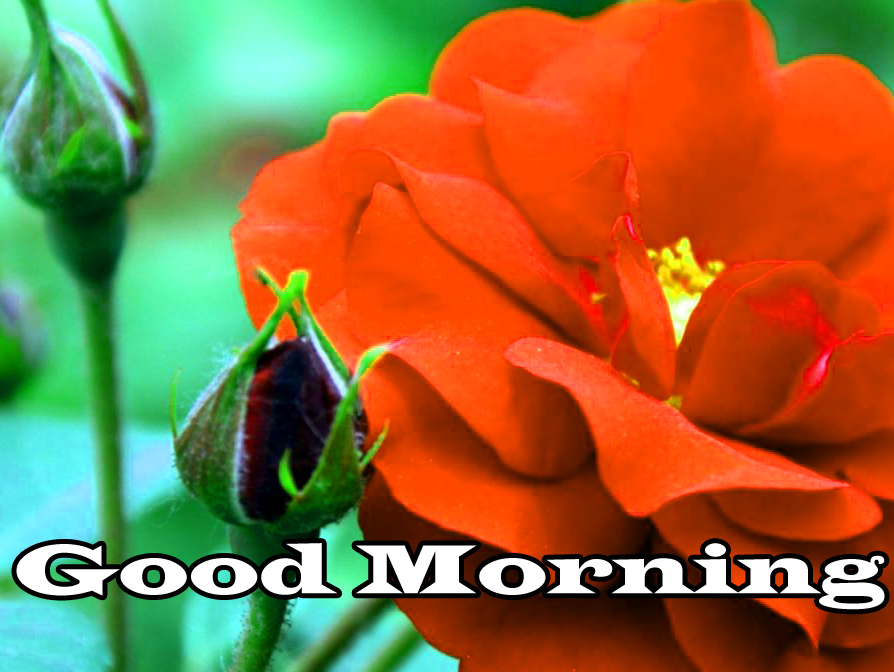 Flower Good Morning Images