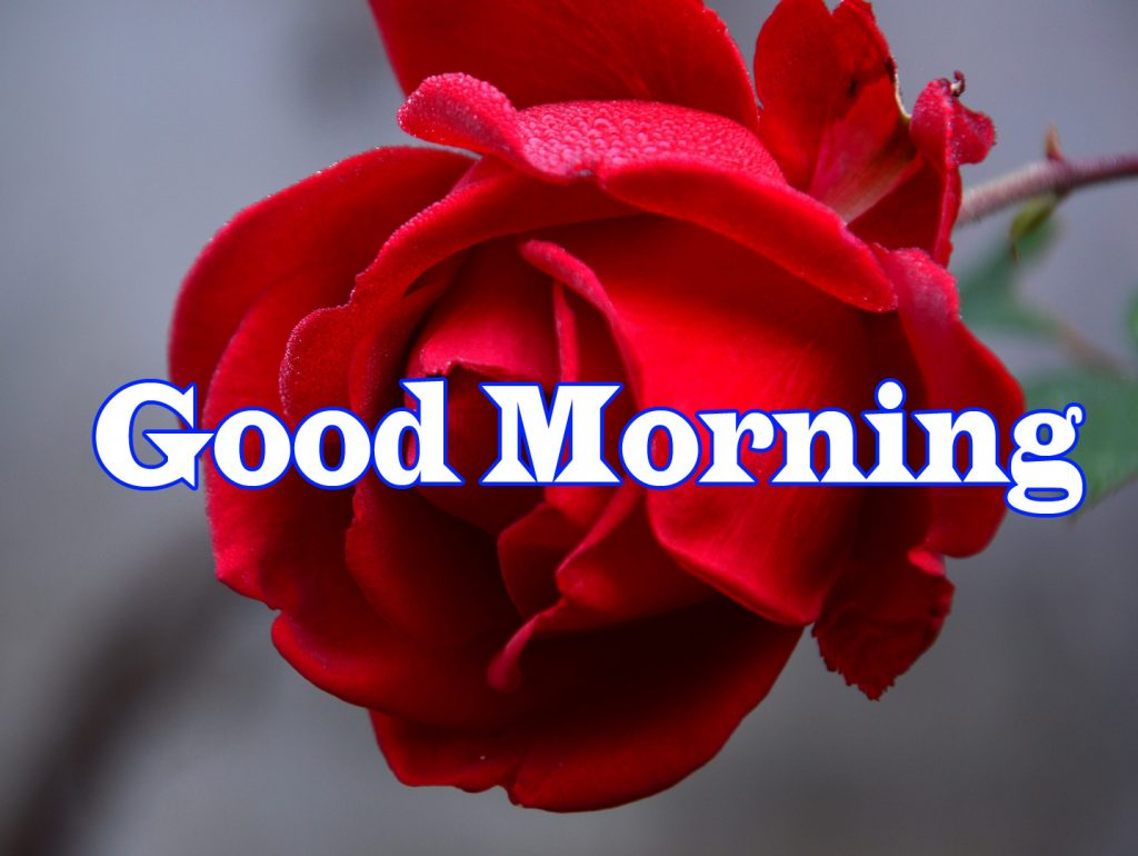 Flower Good Morning Wishes  Wallpaper With Red Rose