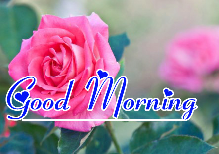 Good Morning HD Images Pics for Whatsapp Red Rose