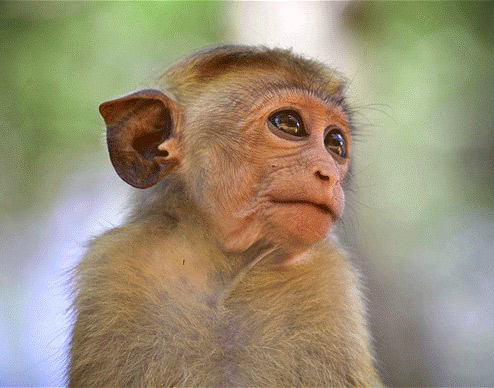 Funny Monkey Images Pics Wallpaper Free Download