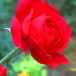 Red Rose Images Wallpaper Pics for Girlfriend / Wife