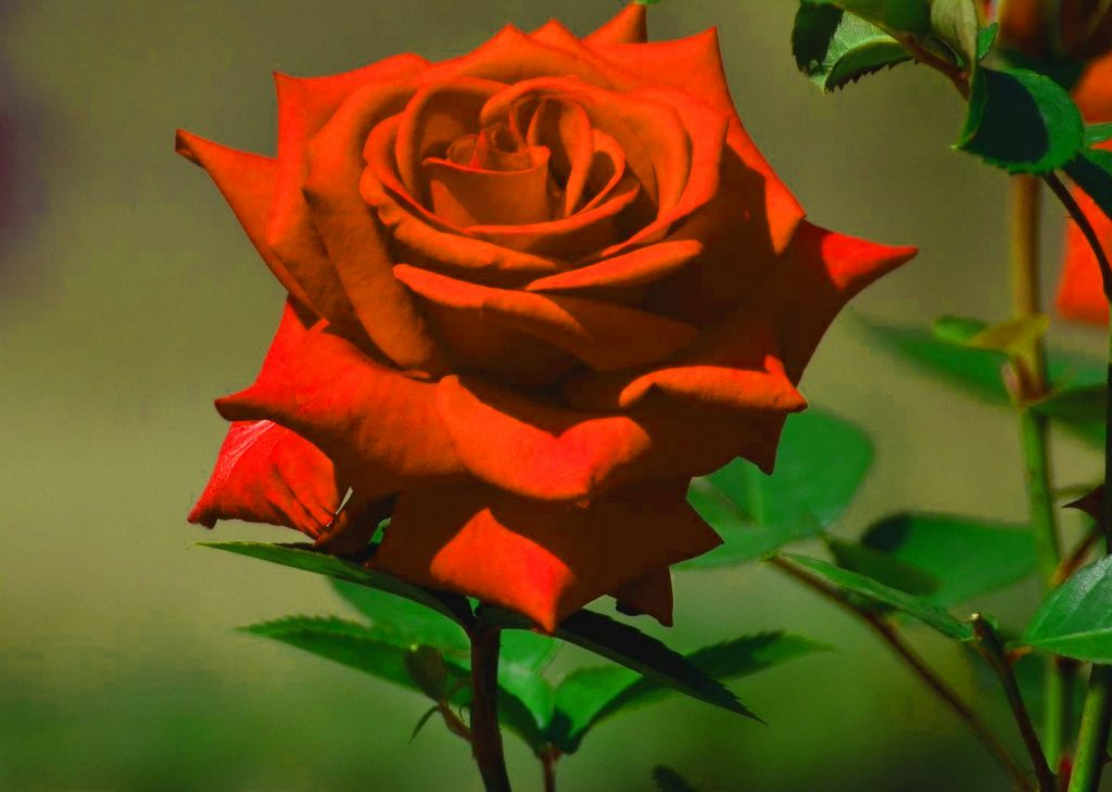 Girlfriend / Wife Red Rose hd wallpaper free download