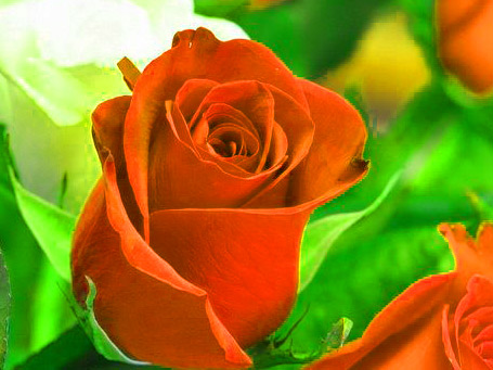 BestGirlfriend / Wife Red Rose hd images HD Download for Whatsapp