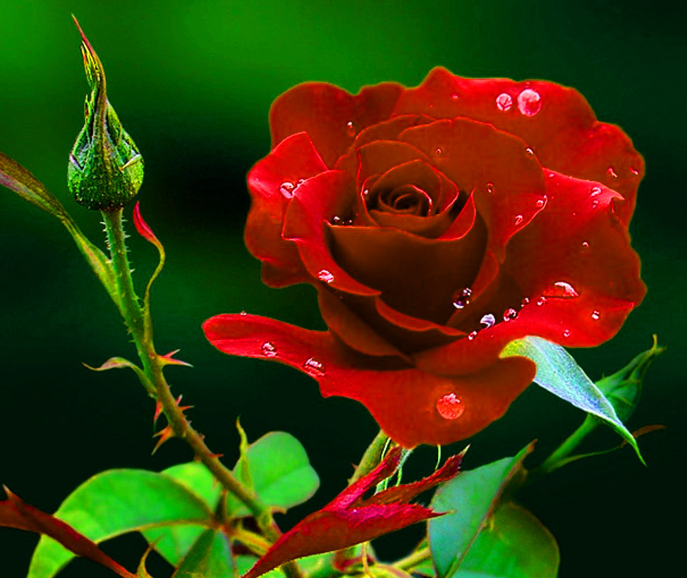 Girlfriend / Wife Red Rose hd wallpaper download for Whatsapp / Facebook