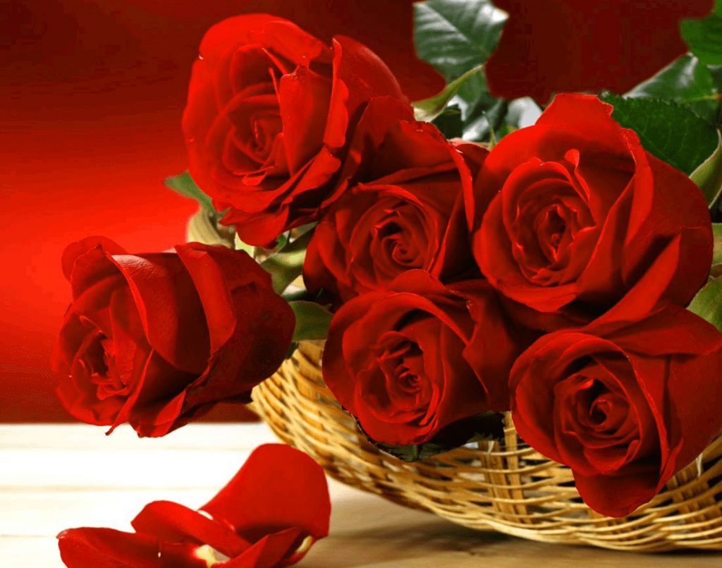 Girlfriend / Wife Red Rose  hd images Wallpaper pics Download