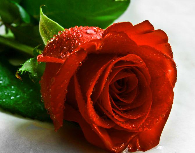 Girlfriend / Wife Red Rose hd wallpaper Pics Wallpaper photo Download