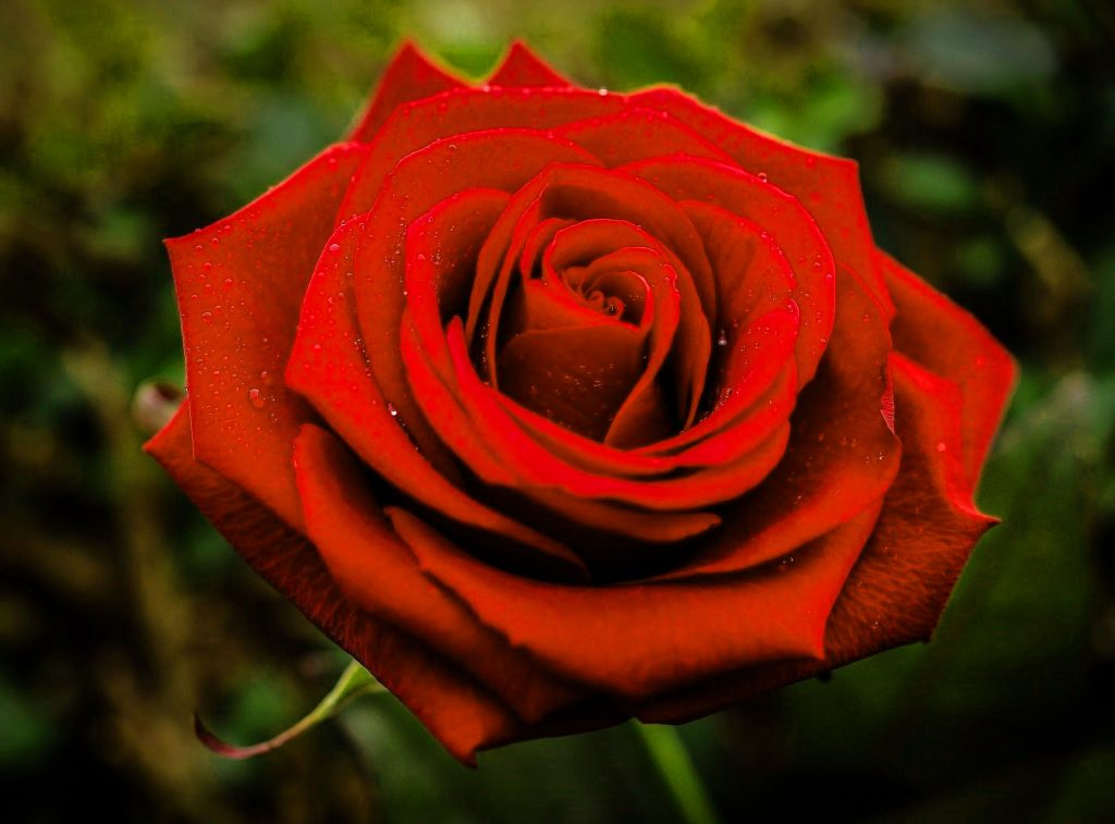 LatestGirlfriend / Wife Red Rose hd images pics Wallpaper Pictures Download