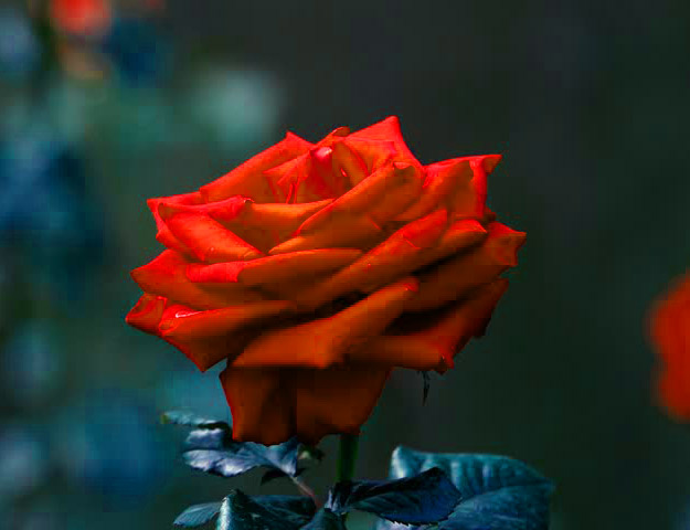 Girlfriend / Wife Red Rose hd wallpaper photo free download for Whatsapp