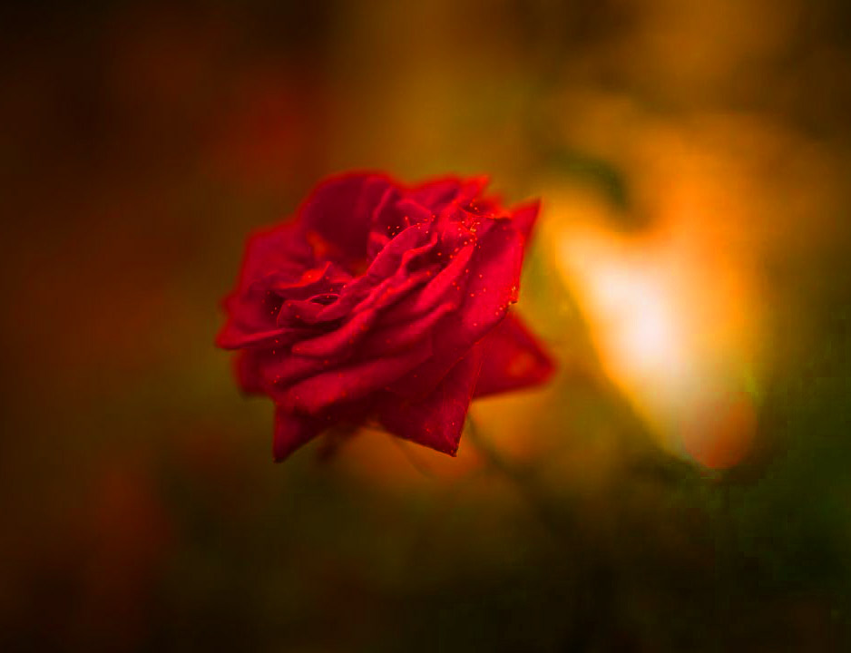 Girlfriend / Wife Red Rose hd images pics Wallpaper Download for Whatsapp