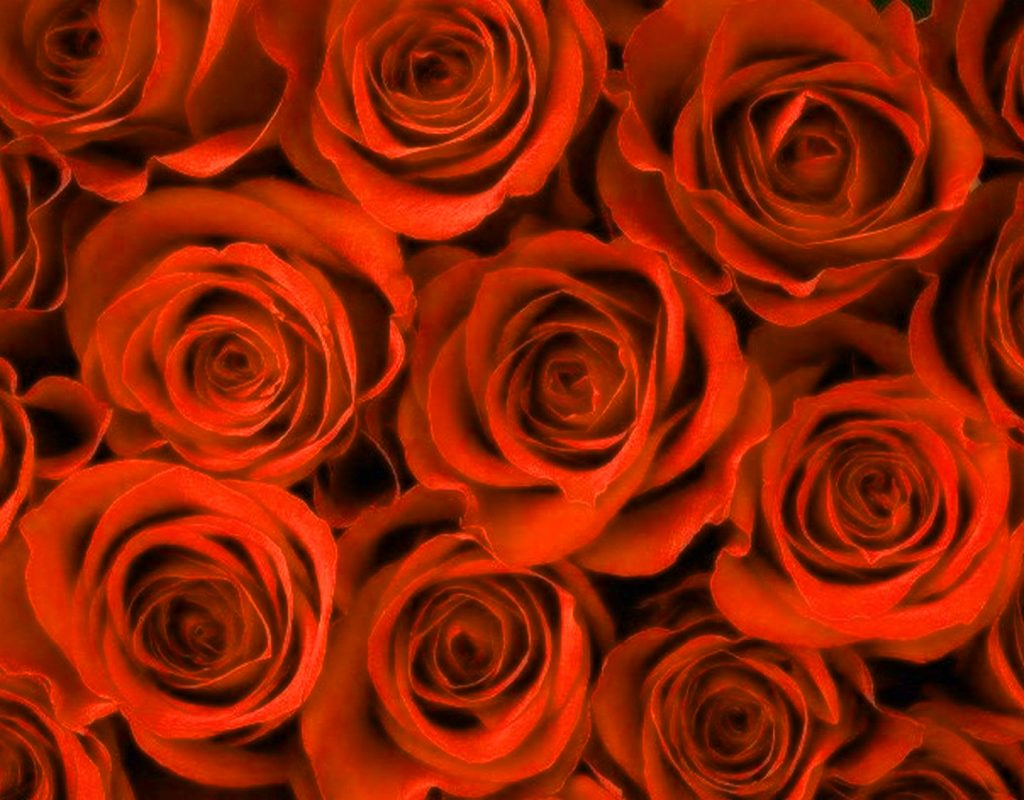 Girlfriend / Wife Red Rose hd images photo wallpaper