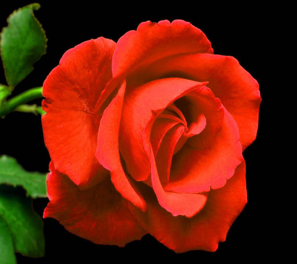 Girlfriend / Wife Red Rose very good pics