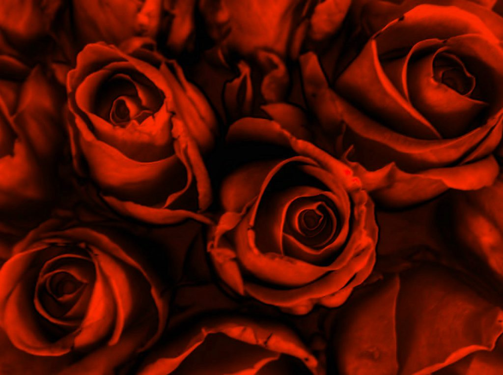 Girlfriend / Wife Red Rose new photo Pics Pictures Download