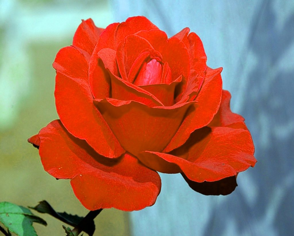 Girlfriend / Wife Red Rose hd images