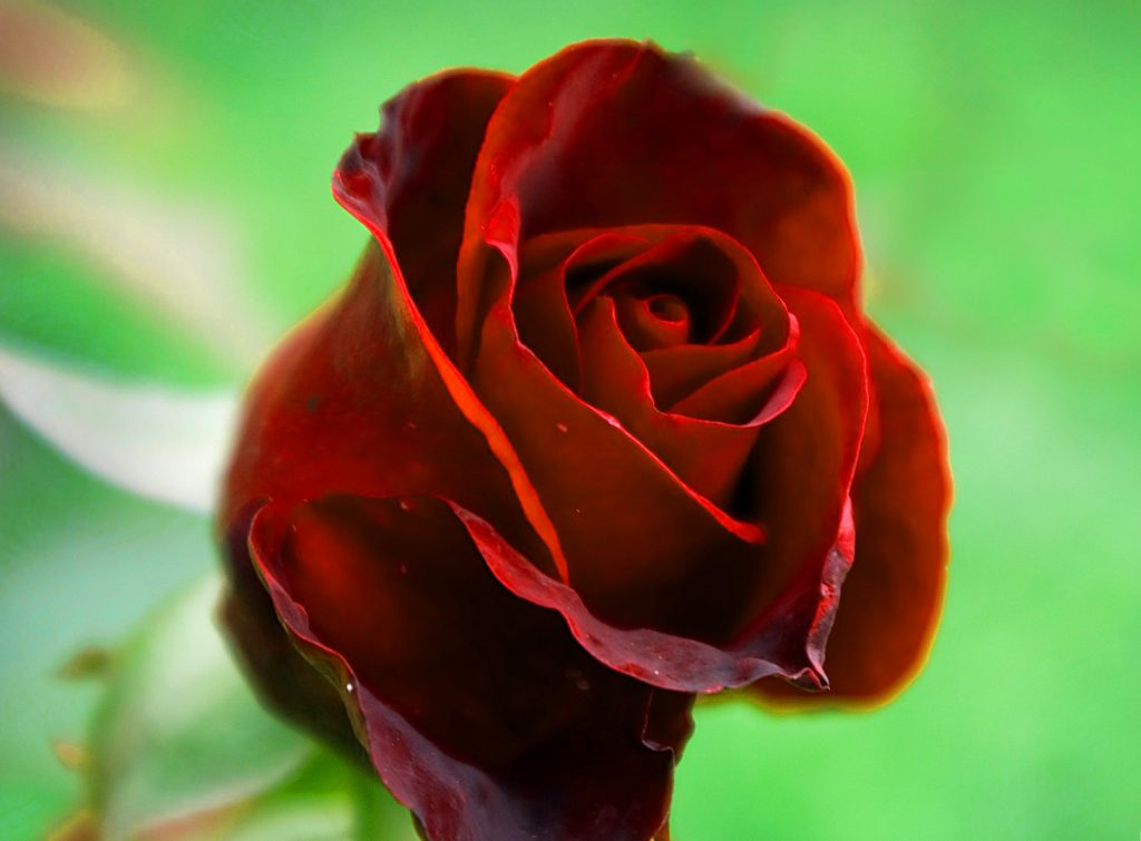 Girlfriend / Wife Red Rose hd pics