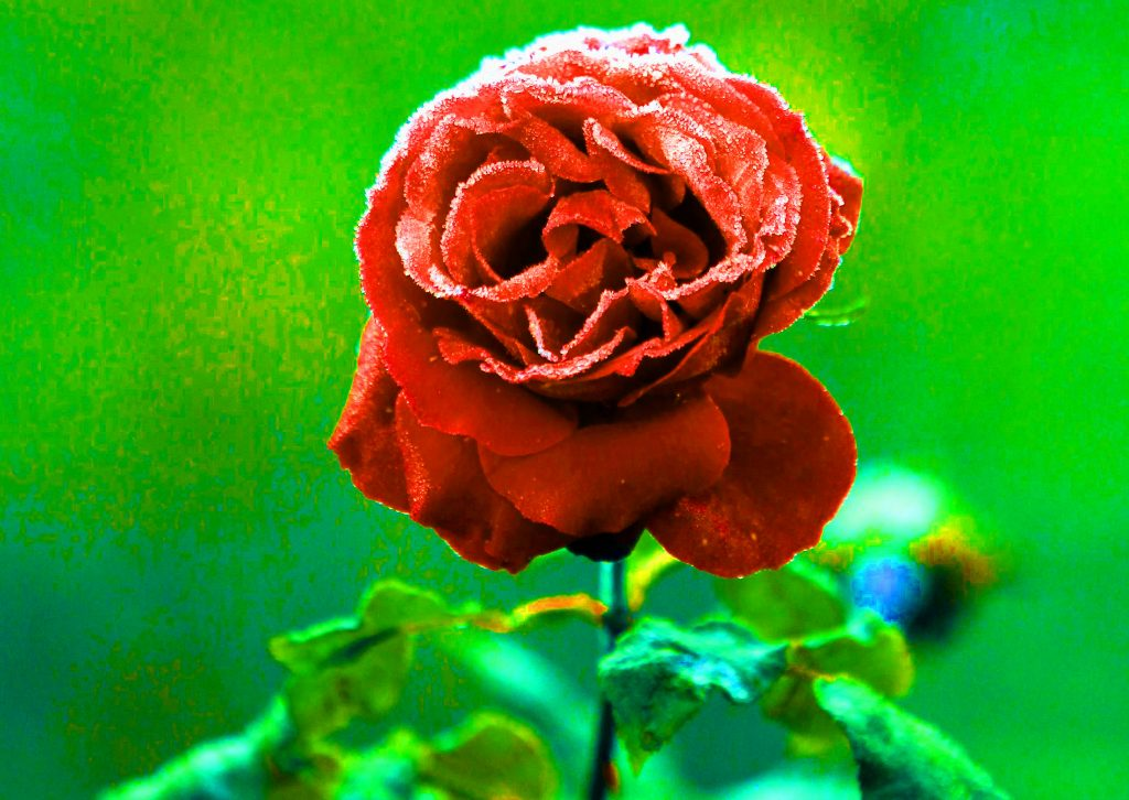 Girlfriend / Wife Red Rose hd images download