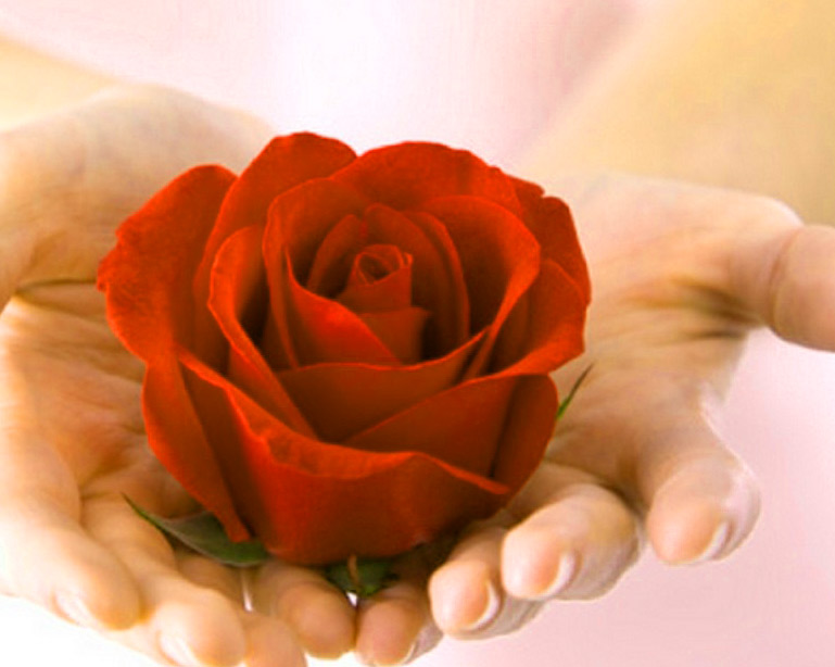 Girlfriend / Wife Red Rose hd wallpaper download