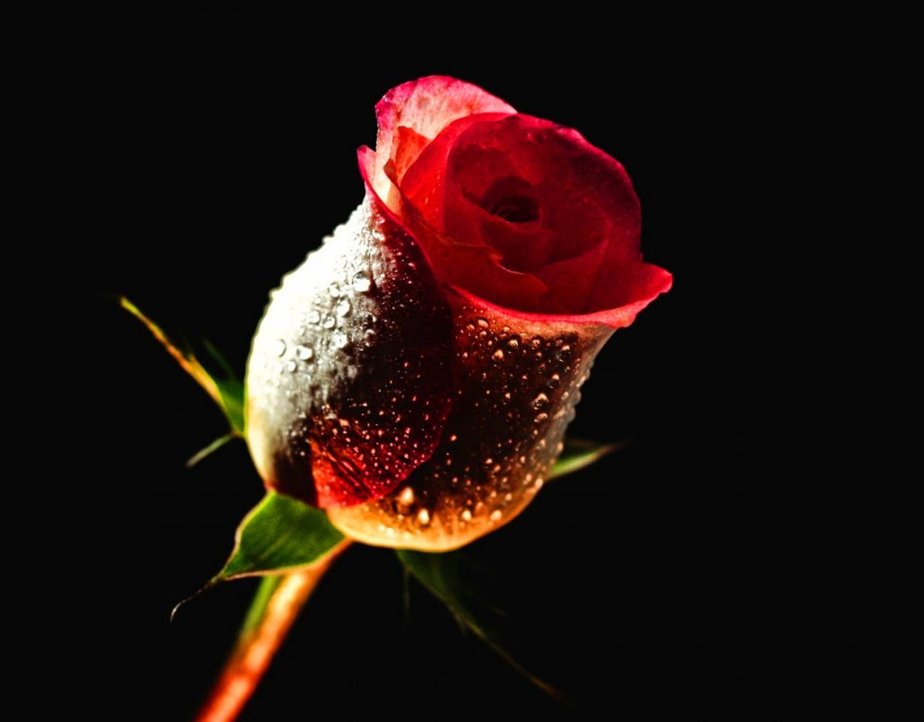 Girlfriend / Wife Red Rose hd image free download