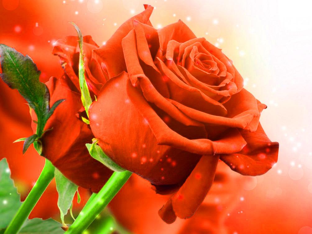 Girlfriend / Wife Red Rose hd wallpaper download