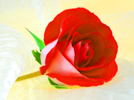 Girlfriend / Wife Red Rose hd photo pictures
