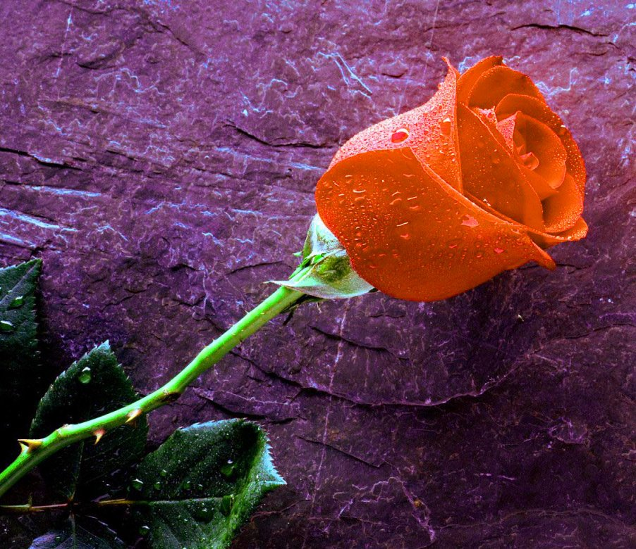 Girlfriend / Wife Red Rose hd photo wallpaper download