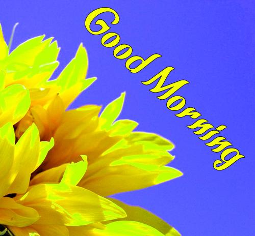 NewSunflower Good Morning Hd Wallpaper