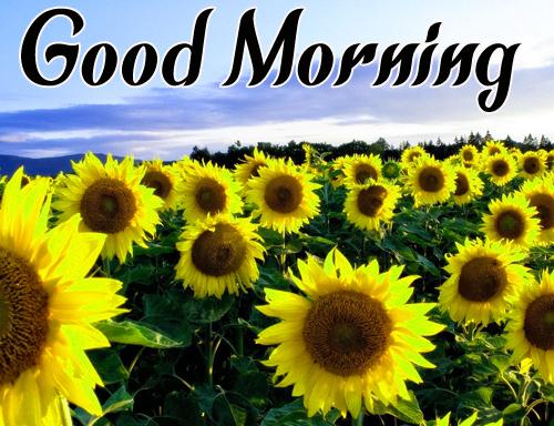 Sunflower Good Morning Pics