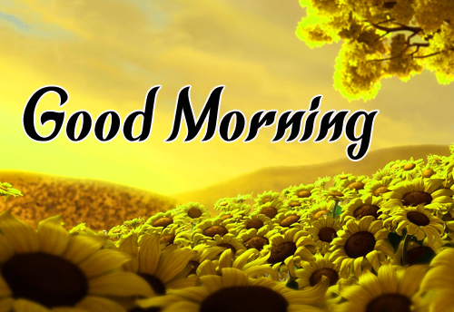Sunflower Good Morning Pics Download