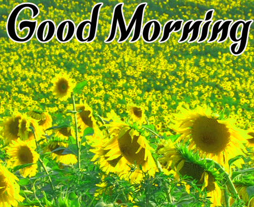 Best Sunflower Good Morning Images HD Download