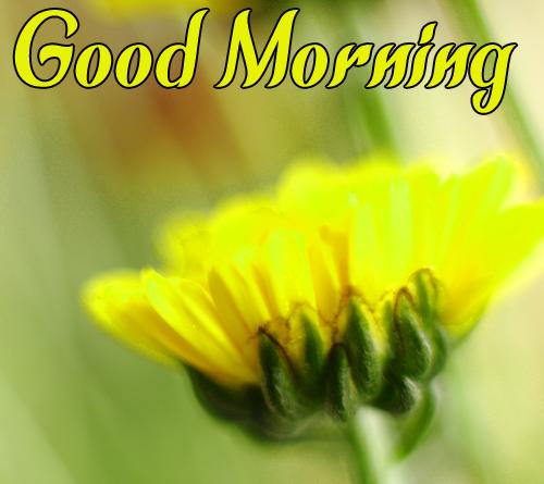 Sunflower Good Morning Images