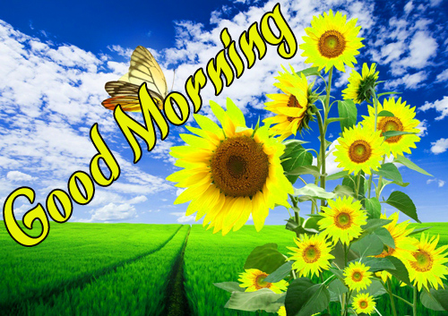 Sunflower Good Morning Photo Hd