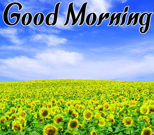 Sunflower Good Morning Pics For Whatsapp