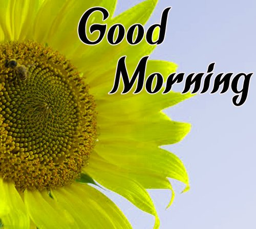 New Sunflower Good Morning Pictures