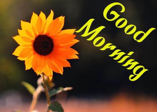 Sunflower Good Morning Pics For Husband