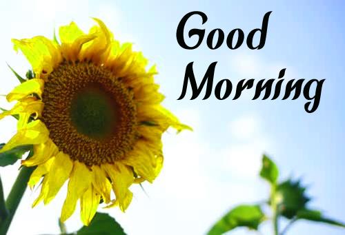 Sunflower Good Morning hd Photo