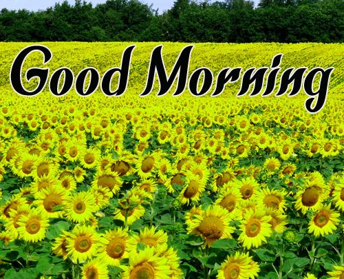 Sunflower Good Morning Wallpaper