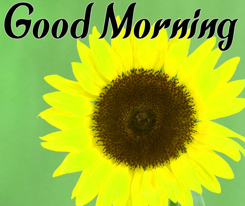 Cute Sunflower Good Morning Images