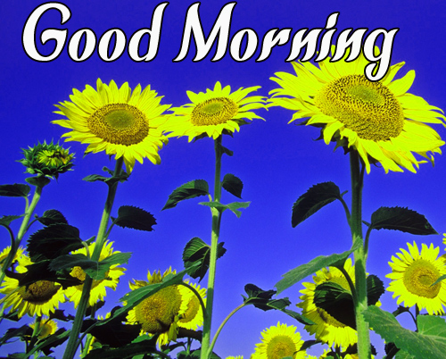 LatestSunflower Good Morning Images