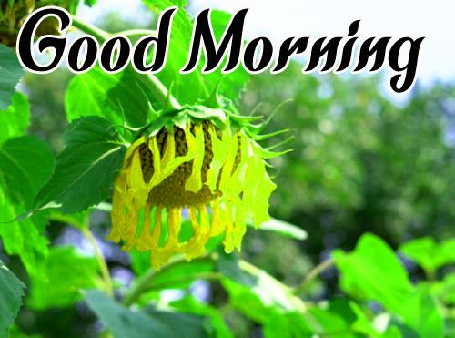Sunflower Good Morning Hd PhotoSunflower Good Morning