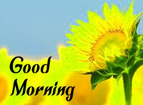 Sunflower Good Morning Hd Wallpaper