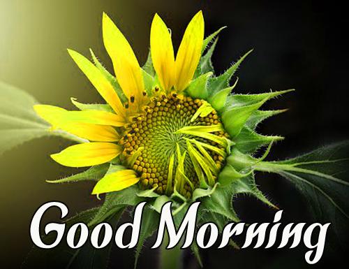Sunflower Good Morning Photo