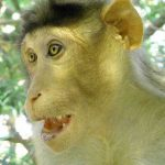 Funny Monkey Images Wallpaper Download
