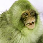 Funny Monkey Images Wallpaper Latest Download