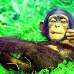 Funny Monkey Images Wallpaper Free