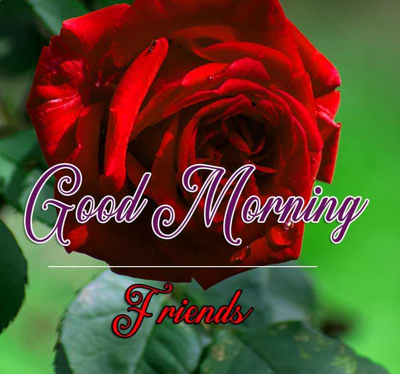 Best Good Morning Images Wallpaper Pics With Red Rose
