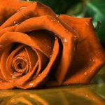 Girlfriend / Wife Red Rose Pic Download