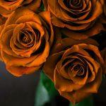Girlfriend / Wife Red Rose Wallpaper Free