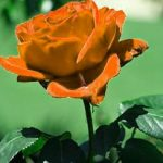 Girlfriend / Wife Red Rose Photo Download Free