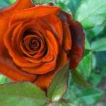 Girlfriend / Wife Red Rose Photo Download