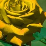 Rose Pics Download for Whatsapp