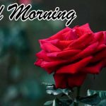 Good Morning Red Rose Images pictures download